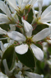 amélanchierAmelanchier ovalis