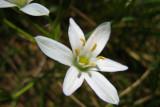 phalangère fleur de lisAnthericum liliago