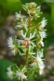 réséda raiponceReseda phyteuma