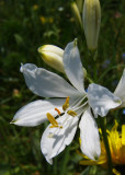 flore du Mont-Aiguille