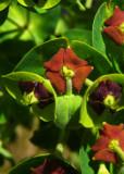 Euphorbe characiasEuphorbia characias