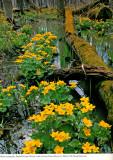 Marsh Marigolds, Sierra Club Wall Calendar, 1992