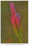 Frosted Gentian, Audubon Engagement Calendar, 1992