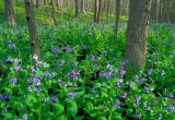 Bluebells, Messenger Woods, IL