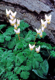 (MW31) Dutchmans Breeches, IL