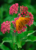 (PR11) Great Spangled Fritillary
