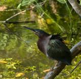green heron 1772