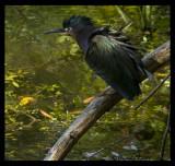 green heron 1984