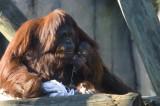 Bornean Orangutan & baby     0208