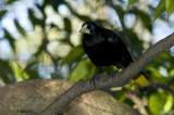 Grosbeak Starling     0281a