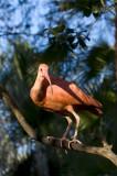 Scarlet Ibis     0405