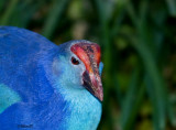 Purple Swamphen     0474