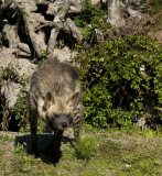 Striped Hyena     9673