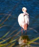 African Flamingo     9764
