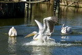 Great White Pelican     9775