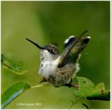Female Ruby-throated Hummingbird bathing in hose shower.