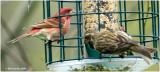 purplefinches7585.jpg