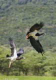 Birds of Limpopo, South Africa and Sussundenga, Mozambique: 2010 travels
