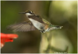 Ruby-throated Hummingbirds, Howard, PA