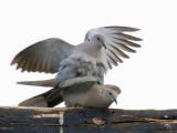 Eurasian Collared-Dove