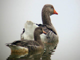 Domestic Graylag (rear) and wild Greater White-fronted Goose (front)