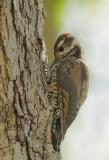 Arizona Woodpeckers