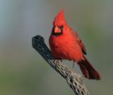 Cardinals, Grosbeaks, etc
