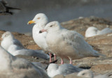 Glaucous Gull, first cycle