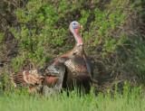 Wild Turkey, male breeding plumage