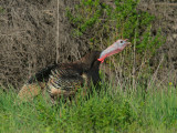 Wild Turkey, young male