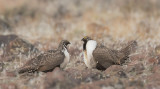 Greater Sage Grouse, two males facing off