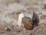 Greater Sage Grouse, male displaying