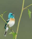 Lazuli Bunting, singing male