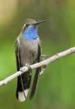Blue-throated Hummingbirds