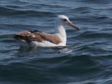 Birds -- Monterey Bay Pelagic, May 8, 2010