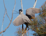 Black-crowned Night-Heron, with nesting material