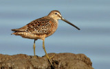 Dowitchers, ID query 2010