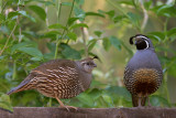 California Quail, pair*