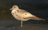 California Gull, first summer
