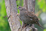 California Quail, female with chick