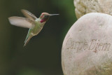 Anna's Hummingbird, male, with message*