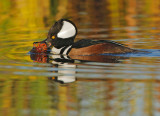 Hooded Merganser, male, with crayfish,