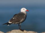Heermann's Gull, breeding