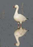 Merced White Geese, October 2007