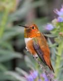 Allen's and Rufous Hummingbirds