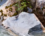 American Dipper with fledgling