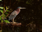 Another Green Heron