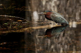 Green Heron in the Big Cypress National Preserve