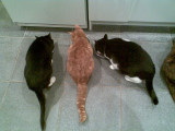 three cats(Tom Sam and Ziggy)