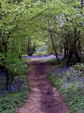 walking Jake in bluebell woods this morning.
